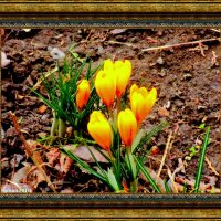 Картина о весне. Крокусы :: Нина Бутко