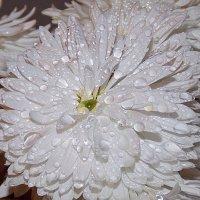 Засверкала в капельках осеннего дождя ... :: *ALISA* .