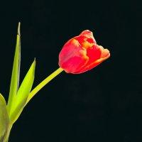 Цветок к празднику :: Анатолий Иргл