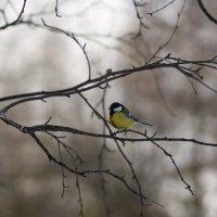 Птица - большая синица. :: Сергей Адигамов