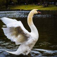 Белый лебедь :: Karolina