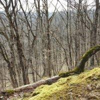 мартовский лес на западном Кавказе :: Алексей Меринов
