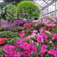 Цветущий рай азалий :: Светлана