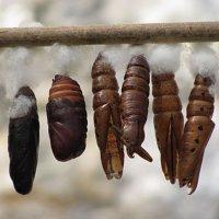 Будушие бабочки :: Татьяна Панчешная