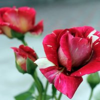 Роза мраморная. :: Валентина ツ ღ✿ღ
