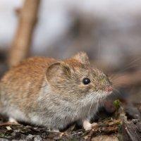 Мышка :: Alex Bush
