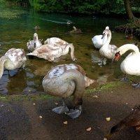 Лебединые истории :: Nina Yudicheva