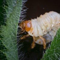 Лечинка майского жука... :: Sergey Apinis