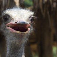 Портрет страуса  в интерьере... :: Cергей Павлович