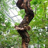 Пробковое дерево :: Ольга Васильева