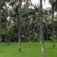 Вид пальм в Лоро парке :: Елена Павлова (Смолова)