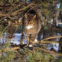 чем не тигр? :: Тамара Рубанова