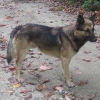 Незнакомый пес :: татьяна