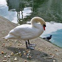 Лебедь голубя спасет,если тот тонуть начнет! :: Наталья