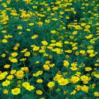 Желтые ромашки :: Александр Деревяшкин