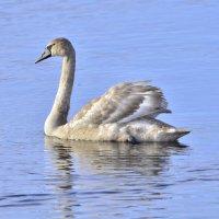 Лебедь :: Олег .