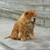 Песик-медвежонок :: Надежда