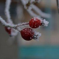 Зимние ягоды :: Agnivarshi Малтыз