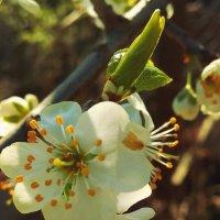 весна цветет :: Антонина Владимировна Завальнюк
