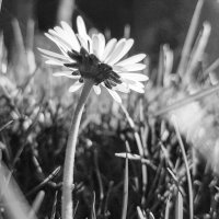 крошка- ромашка :: Лилия Winоgradowa
