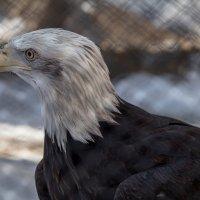 Белоголовый Орлан ( символ Америки ) :: Борис