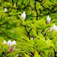 Магнолии в цвету. :: Лара ***