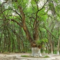Святое дерево в Казахстане :: Надежда