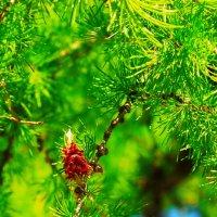 Цветок лиственницы..) :: Любовь К.