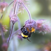 Пчелина Жужик :: Лилия .