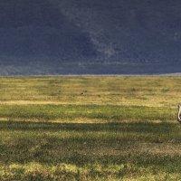 Утреннее свидание...саванна,Танзания! :: Александр Вивчарик