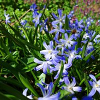 Голубоглазая весна.... :: Galina Dzubina