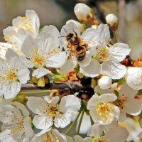 Вишня и пчела :: Alexander Andronik