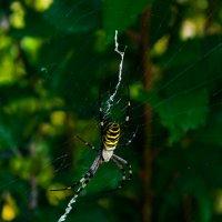 Аргиопа Брюнниха, или паук-оса :: Александр Демиденко