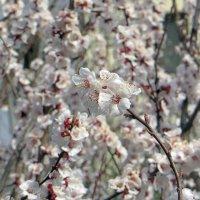 Весны чудесные мгновенья :: Наталья (D.Nat@lia)