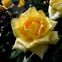 Розы желтые :: Ираида Мишурко
