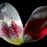 Foliola a tulip 2 :: Dr. Olver  ( ОлегЪ )