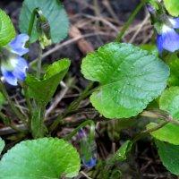 Первые фиалки в марте... :: Тамара (st.tamara)