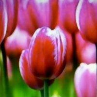 тюльпаны :: Иван
