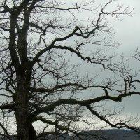 Дерево зимой :: татьяна
