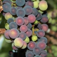 вкус вина :: Мари B