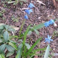 Голубой цветок весны :: Дмитрий Никитин