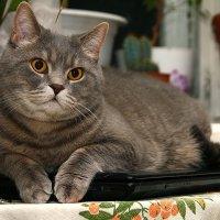 Любимое место кота в доме,на хозяйском ноутбуке.... :: Виктор Бондаренко