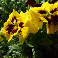 Два мартовских солнышка... :: Galina Dzubina