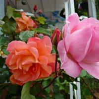 Две розы! :: Надежда