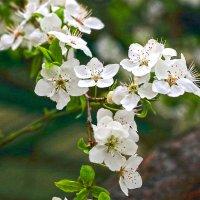 Алча цветет :: Светлана