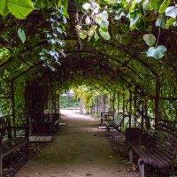зеленый коридор в Аптекарском саду :: Елена Аксамит