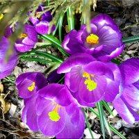 фиолетовые крокусы :: Natali
