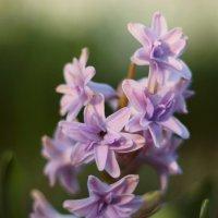 Цветы :: Валерий Живило