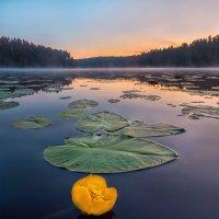 Кубышка жёлтая на озере :: Фёдор. Лашков