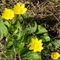 Лютики-цветочки... :: Тамара (st.tamara)